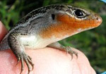 Northern Prairie Skink